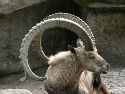 alpensteenbok (5)