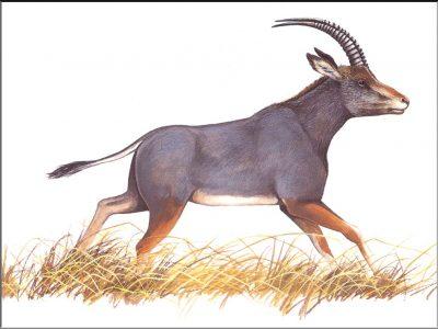 blauwbok (2)