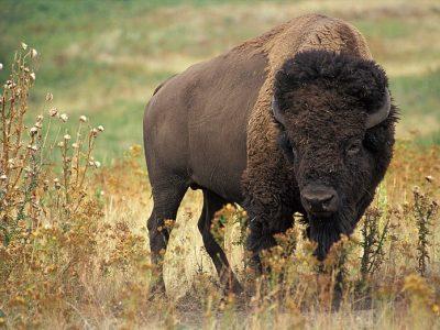 Amerikaanse bizon (1)