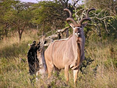 grote koedoe (2)