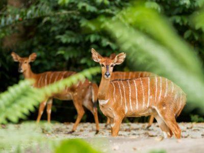 moerasantilope (5)
