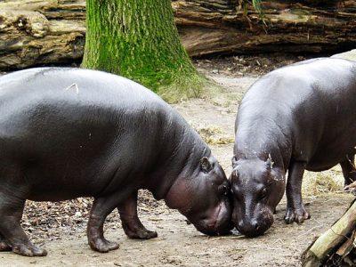 dwergnijlpaard (4)
