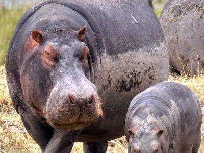 gewoon nijlpaard (2)