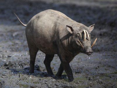 noordelijke babiroessa (3)