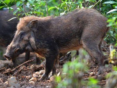 Javaans wrattenzwijn (5)