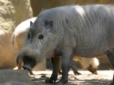baardzwijn (2)