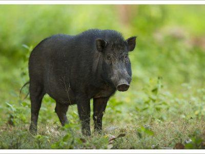 timorwrattenzwijn