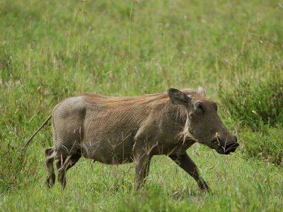 knobbelzwijn (2)