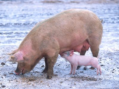 varkens (3)