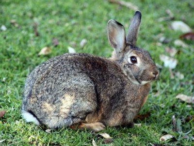 Midden-Afrikaanse konijnen (1)