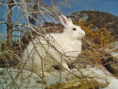 sneeuwhaas (2)