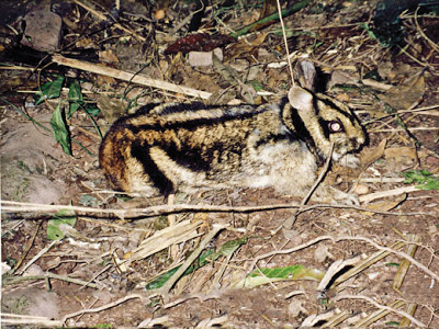 gestreepte konijnen (3)