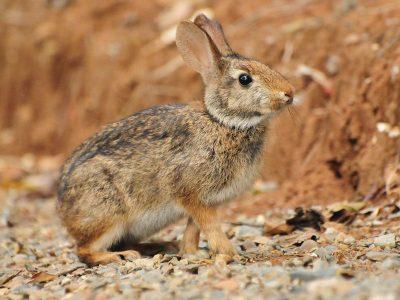 Braziliaans konijn (1)