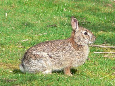 Californisch konijn (2)