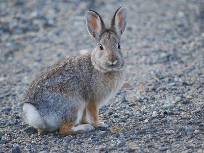 katoenstaartkonijnen (2)