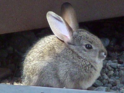 woestijnkatoenstaartkonijn (3)