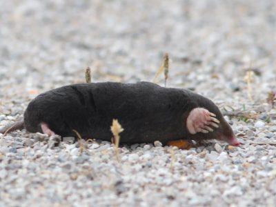 Iberische blinde mol (1)