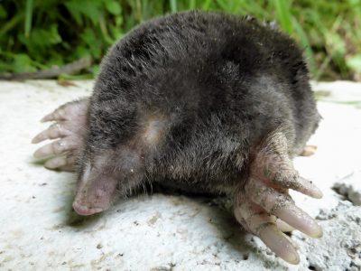 blinde mol (2)
