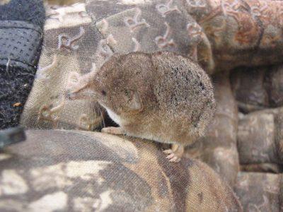 Amerikaanse gemaskerde spitsmuis (2)