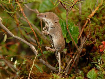 Noordse spitsmuis (1)