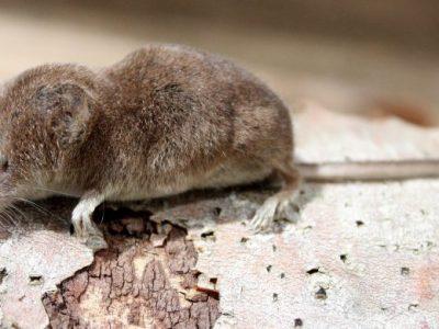 West-Amerikaanse spitsmuis (3)
