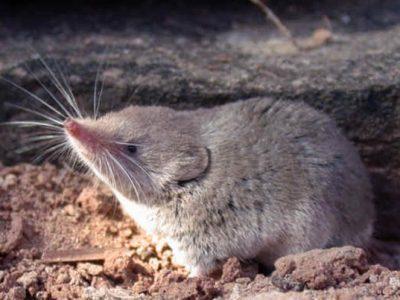 grijze woestijnspitsmuis (2)