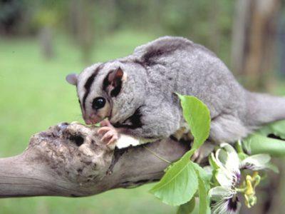 kleine buideleekhoorn (2)