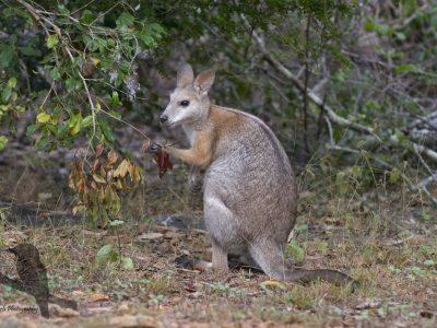 aalstreepwallaby (3)