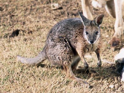 tammarwallaby (3)
