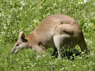 zandwallaby (2)