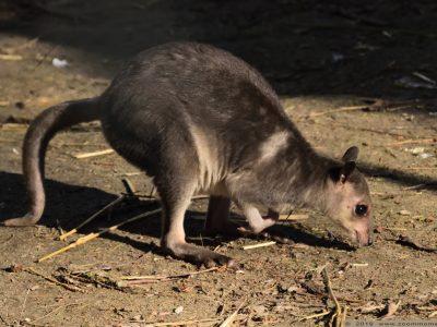 hagenwallaby (2)