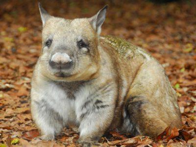 noordelijke breedneuswombat (4)