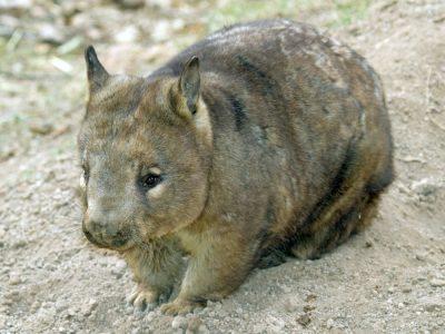 zuidelijke breedneuswombat (3)