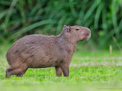 kleine-capibara-1