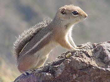 antilopegrondeekhoorns (3)