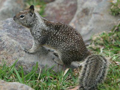 echte grondeekhoorns (3)