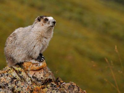 marmotten (5)