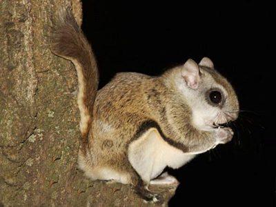 Canadese vliegende eekhoorn (4)