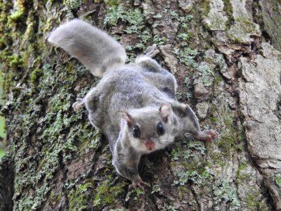 Noord-Amerikaanse vliegende eekhoorn (2)