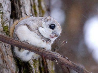 gewone vliegende eekhoorn (1)