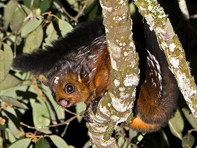 grote vliegende eekhoorn (4)