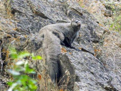 rotsvlieghoorn (2)