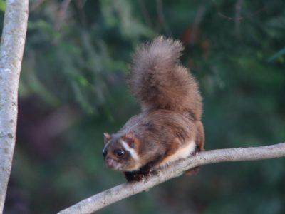 witkelige vliegende eekhoorn (2)