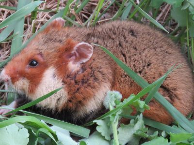 gewone-hamster-3
