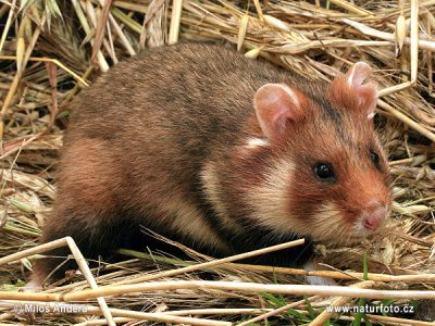 gewone-hamster-5
