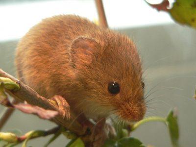 muizen en ratten van de nieuwe wereld (2)