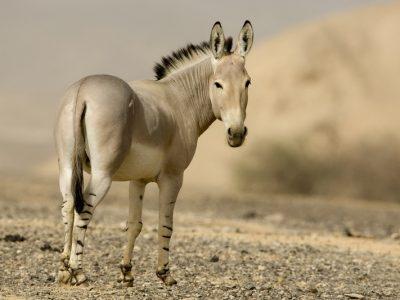 Nubische-wilde-ezel-3