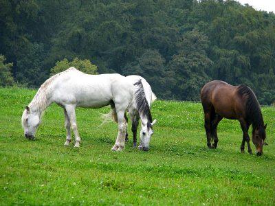 paarden (1)