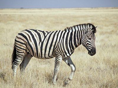 zebra's (4)