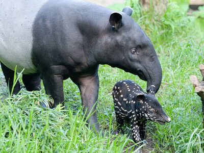 Indische-tapir-6